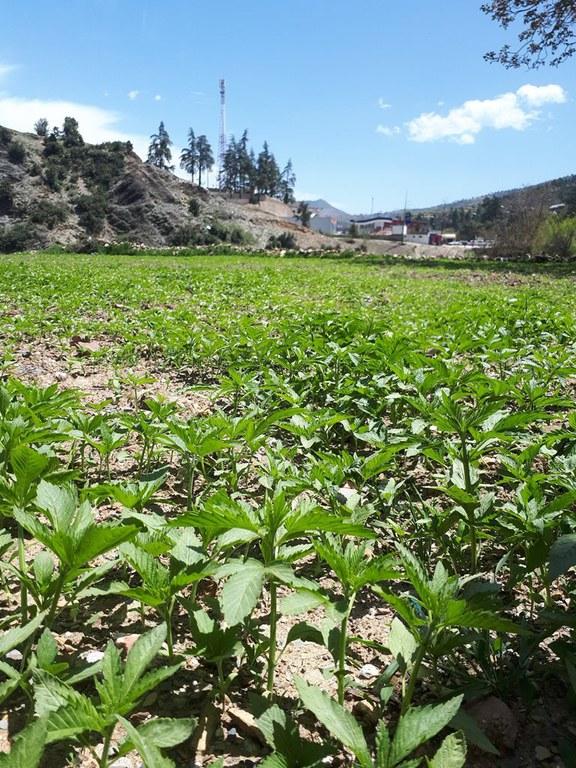Hemp plantation in the Rif mountains