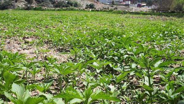 Hanfplantage Rif-Gebirge